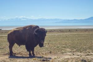 Antelope Island - Buffalo