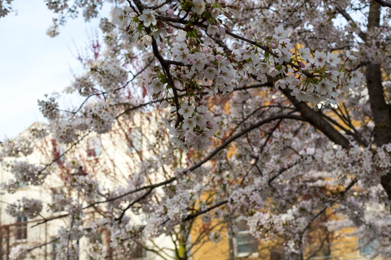 Swiss Cottage - blossoms
